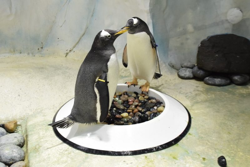 Penguins cross their flippers for spring babies