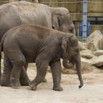 Time to Ele-celebrate at Twycross Zoo
