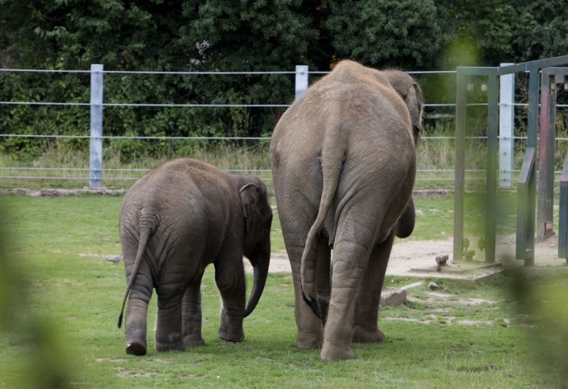 Twycross Zoo's Asian elephants will move two-by-two, to Blackpool Zoo