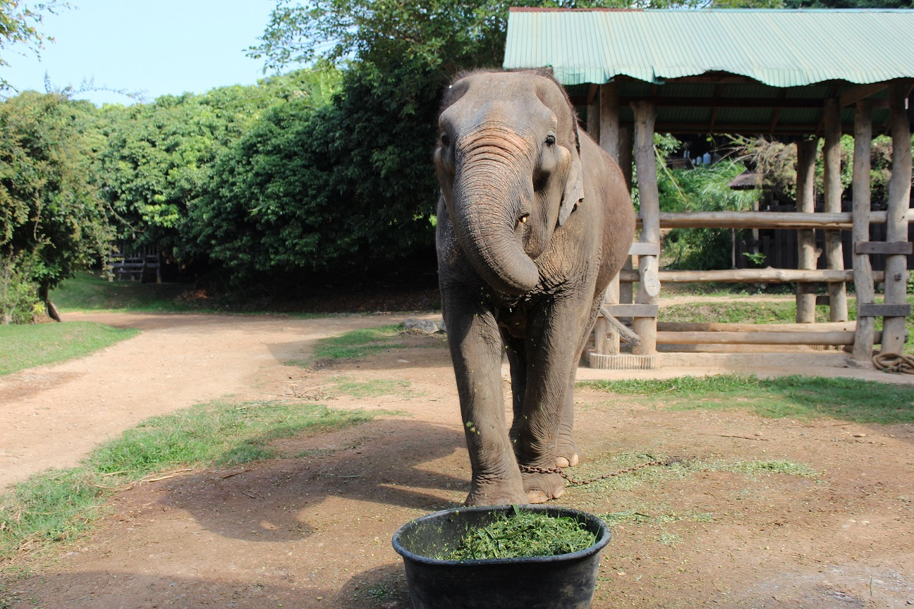 Elephant Care Centre, Chiang Mai