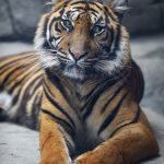 Sumatran Tigers at Twycross Zoo – Review