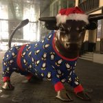 THE BULL IS ALL READY FOR CHRISTMAS IN HIS FESTIVE PYJAMAS