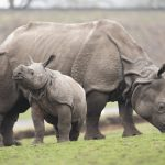 A VERY HAPPY MOTHER'S DAY FOR FIRST-TIME INDIAN RHINO MOTHER AT SAFARI PARK