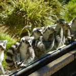 LEMURS ON THE LOOKOUT! THE ANIMALS ARE READY FOR REOPENING AT TWYCROSS ZOO