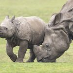 SAFARI PARK 'CHARGES' AHEAD WITH RHINO WEEK EVENT FOR MAY HALF TERM!