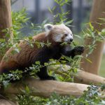 NEW RED PANDA EXHIBIT AND ACCOMMODATION OPENS AT WEST MIDLAND SAFARI PARK…